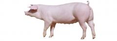 长白母猪-烟台