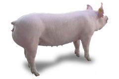 大约克母猪
