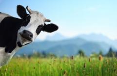 hesitant 奶牛