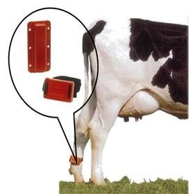 金山种牛场的发情监测系统