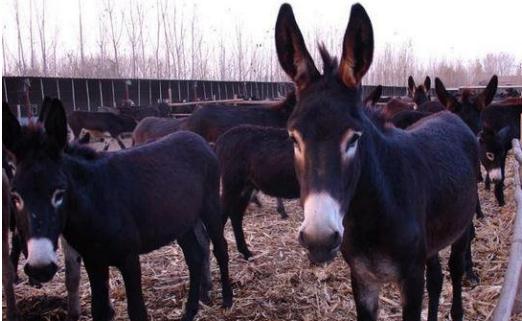 肉用驴的常见品种及其介绍