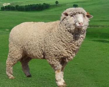 巴美肉羊图