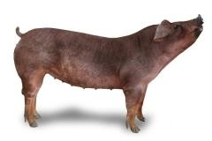 杜洛克母猪-烟台