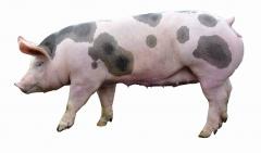 皮特兰母猪
