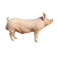 大白种公猪