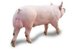 大约克公猪