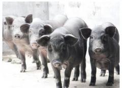 德保黑猪 每斤