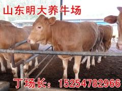 2015牛犊 小牛苗,鲁西黄牛牛犊