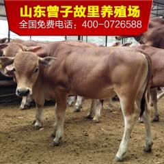 鲁西黄牛牛犊 肉牛犊牛仔养牛场 鲁西黄牛犊 小牛苗 活牛活体
