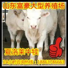 夏洛莱种公牛
