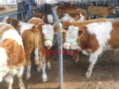 改良肉牛活体牛吉林辽源四平营城子那丹伯牛市场架子母牛西门塔尔