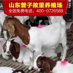 波尔山羊活体包邮、波尔山羊羊羔、波尔山羊种羊、奶山羊