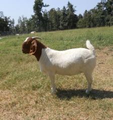 波尔山羊 繁育繁殖母羊 后备种羊母羊羔5月龄