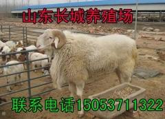 小尾寒羊养殖场-小尾寒羊种羊-活体小尾寒羊--小羊苗价格出售