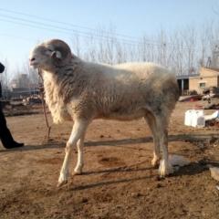 小尾寒羊公羊