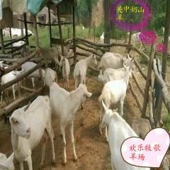 奶山羊活体包邮、奶山羊羊羔、带孕奶山羊、带奶奶山羊、奶山羊公