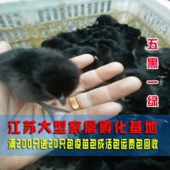 纯种五黑一绿鸡苗 黑羽五黑鸡 绿壳蛋鸡苗 乌鸡苗草鸡土鸡苗批发