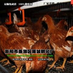 鸡苗供应 海蓝褐蛋鸡苗 褐壳蛋鸡苗土鸡苗产蛋高抗病力强包打疫苗