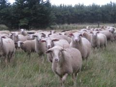 奶山羊 种羊 I  价格面议