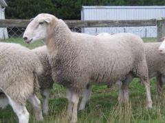 奶山羊 种羊 II  价格面议