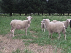 奶山羊 种羊 III 价格面议