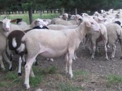 奶山羊 种羊 Ⅳ 价格面议