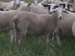 奶山羊 种羊 Ⅴ 价格面议