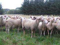 奶山羊 种羊 Ⅵ 价格面议