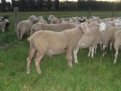 奶山羊 种羊 Ⅷ 价格面议