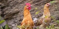 卢氏鸡 国家地理标志产品 公3斤